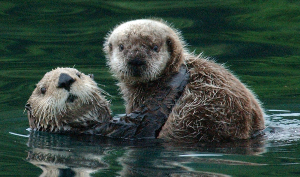 Alaska Senate Passes Stedman S Sea Otter Resolution Alaska Public Media