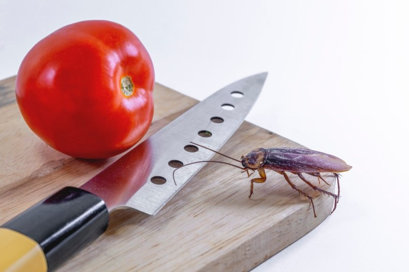 cockroaches-on-the-butcher-with-a-knife-and-tomatoes-white-background-cockroach-bug-insect_t20_mLKGQm