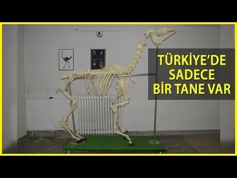Türkiye'nin Tek Zürafa İskeleti, Elazığ'daki Anatomi Müzesi'nde