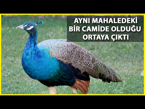 Bayezid Külliyesi'nde Kaybolan Tavus Kuşu, 6 Ay Sonra Bulundu
