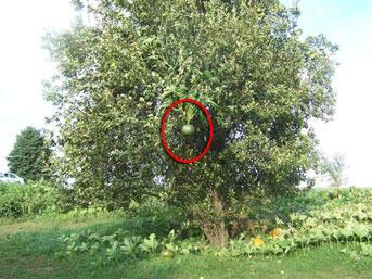 Armut ağacındaki kabak şaşırttı