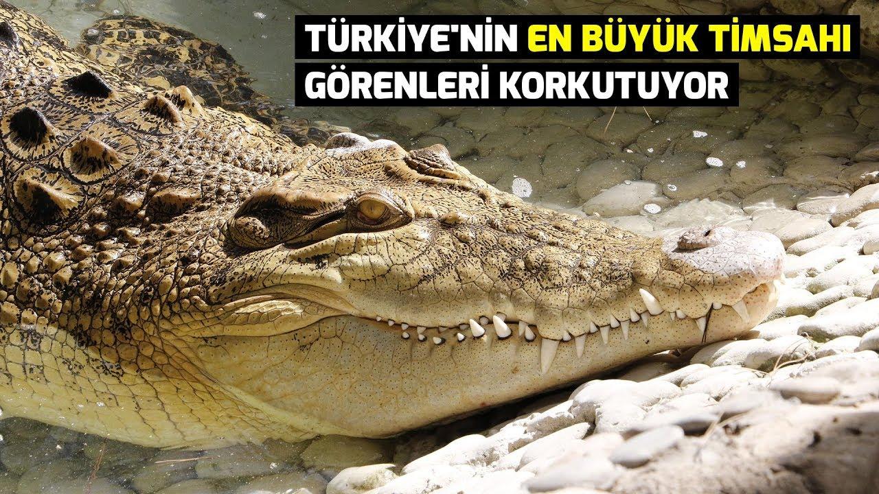 Türkiye'nin en büyük timsahı görenleri korkutuyor