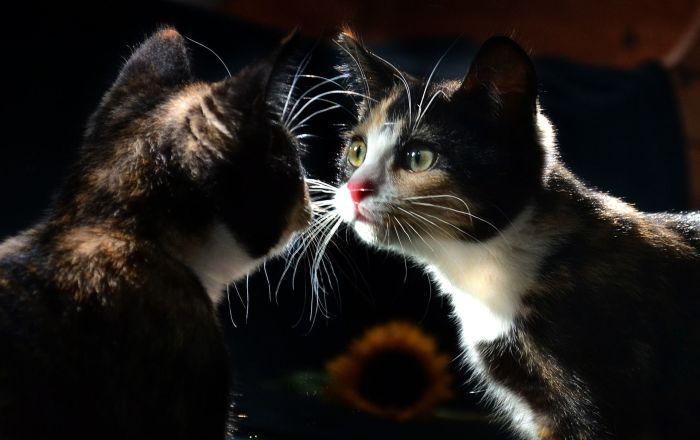 ABD'de 6 kedi hiç semptom göstermeden koronavirüsü birbirine bulaştırdı