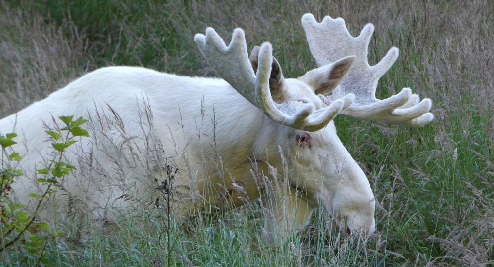 'Yerli halkın ruhu' beyaz ren geyiklerinin kaçak avcılarca öldürülmesi Kanada'da infial yarattı
