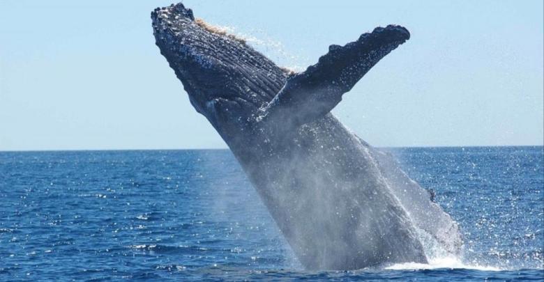 Photo of ما حقيقة صوت الحوت الأزرق؟