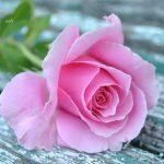 تفسير حلم الورد الوردي