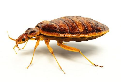 هل حشرة البق تطير وكيفية التخلص من حشرة البق طبيعيا