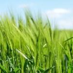 تفسير حلم حصاد الزرع في المنام لابن سيرين