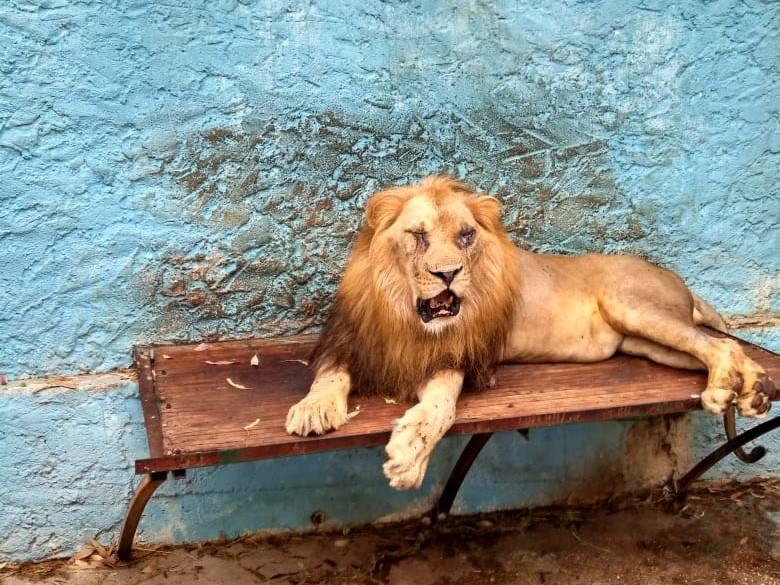 Leone Al Safari Park Zoo Di Fier Albania