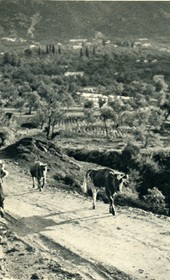 GM054: Cows on the road in Kruja (Photo: Giuseppe Massani, 1940).