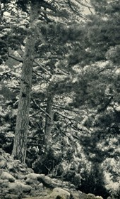 GM079: The pine forest of Llogara south of Vlora (Photo: Giuseppe Massani, 1940).
