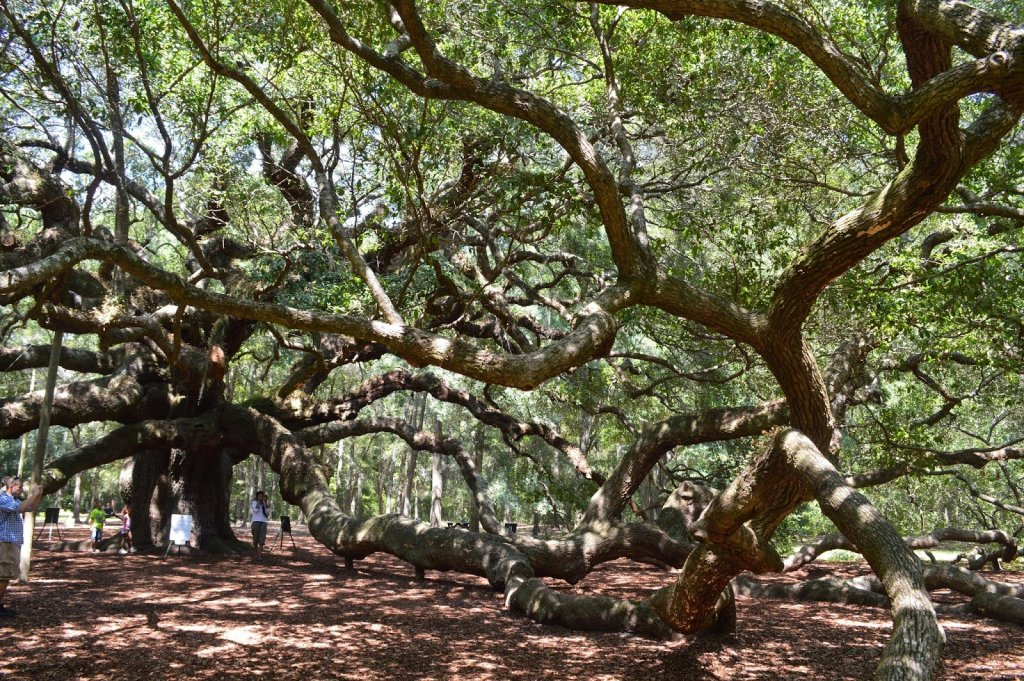 Angel Oak, John's Island, South Carolina, 2014