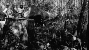 (Circa 1880-1925) Cut from the original virgin forests of the south