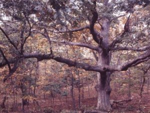 Oak forest Gardiner Island