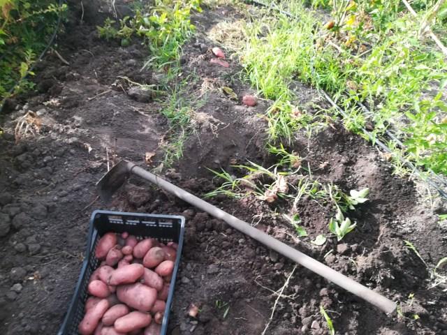 Le patate dal Nostro Orto