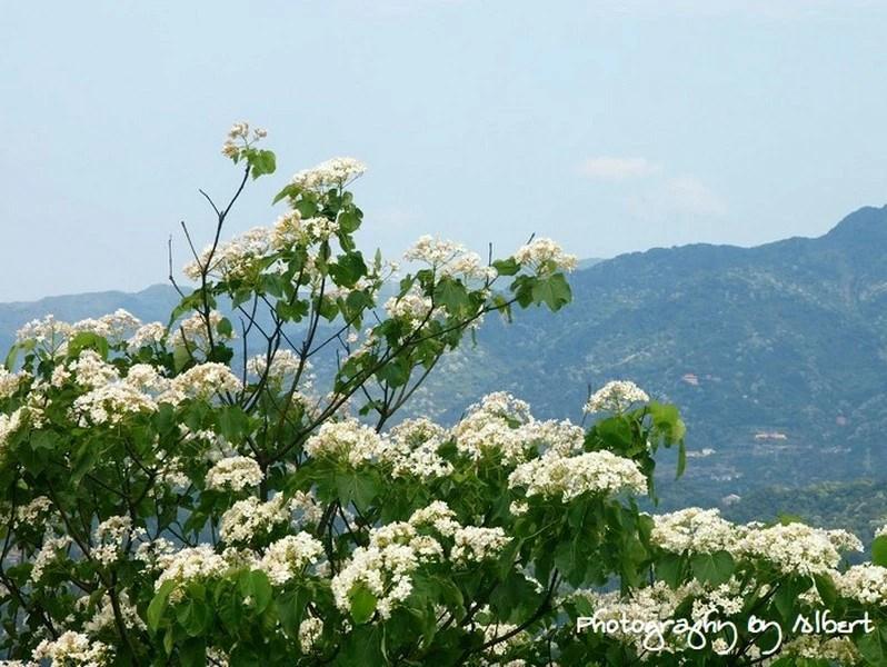 三峽鳶山油桐花