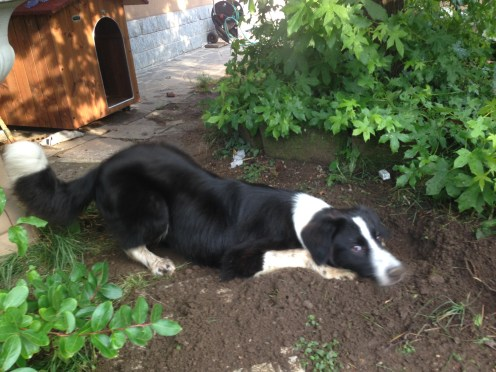 Il border collie Lucky