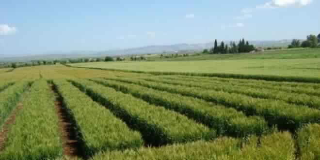 بعد تفشي الامراض … وزارة الفلاحة تدعو الى مداواة الحبوب