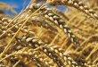 تونس تطرح مناقصة دولية لشراء 234 ألف طن من القمح والشعير