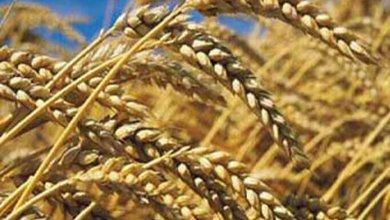 Photo of وزارة التجارة تؤكد أن مخزونات الحبوب والشراءات تغطي الطلب المحلي