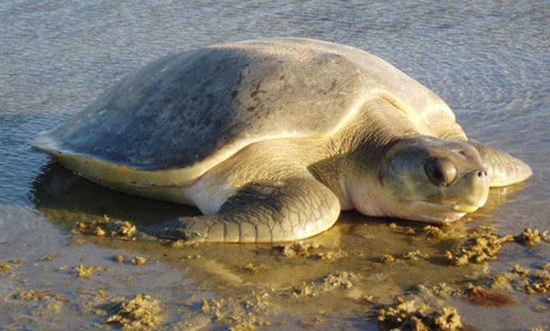 المنستير: حماية السلحفاة البحرية