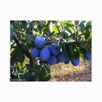 http://www.covera.ro/casa-gradina/gradinarit-exterior-interior/pomi-fructiferi/pom-prun-stanley_4798/