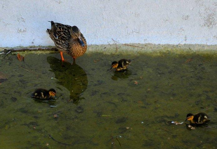 Patos en el estanque de los peces