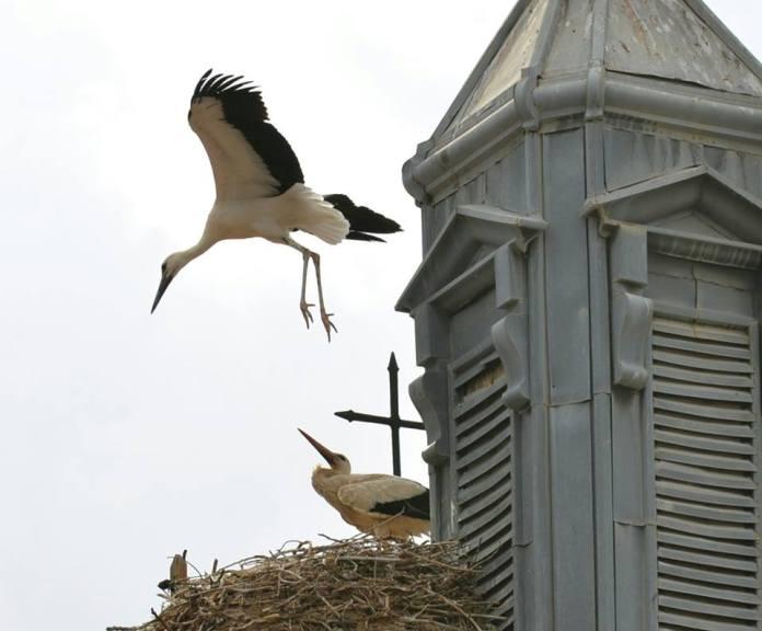 Primeros vuelos del cigonino en el nido del reloj municipal