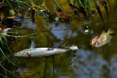 Peces flotando muertos en el Henares. Foto de Ricardo Espinosa Ibeas