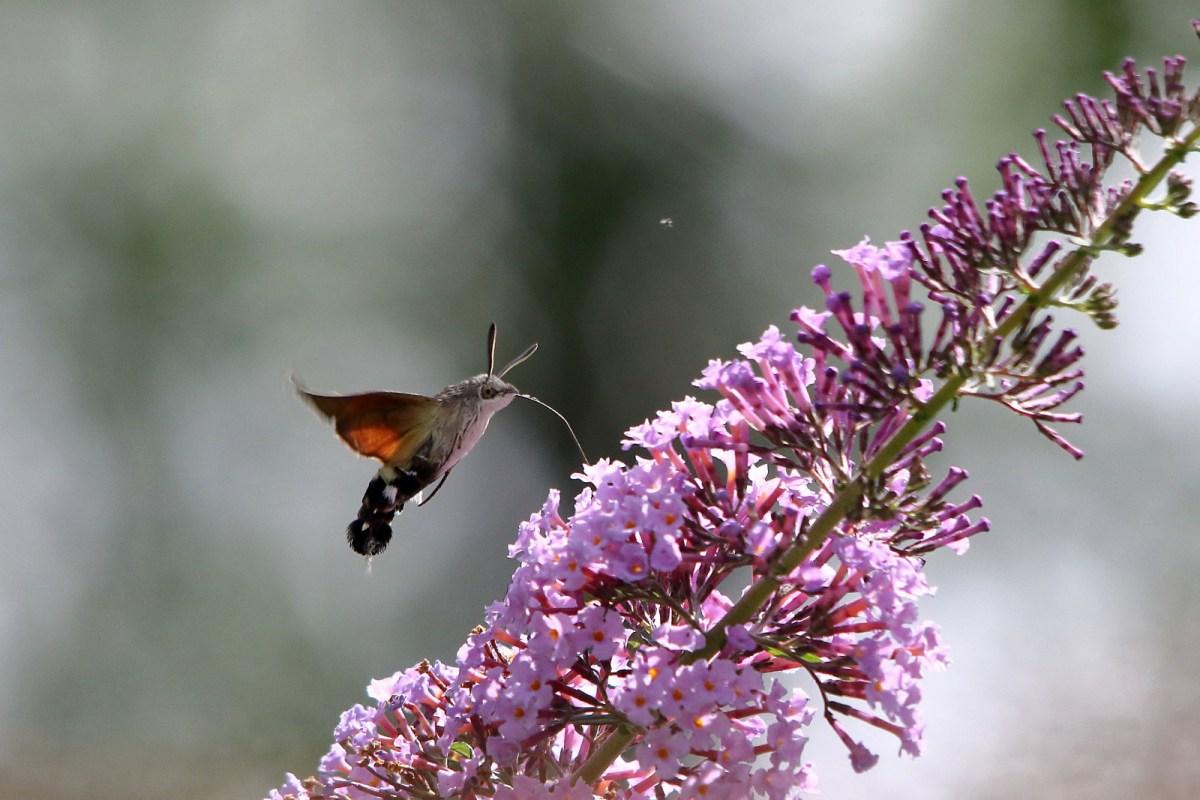 L'inafferrabile sfinge colibrì