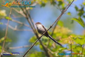 Codibugnolo (Aegithalos caudatus)