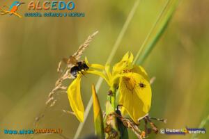Giaggiolo di palude (Iris pseudacorus) con insetti