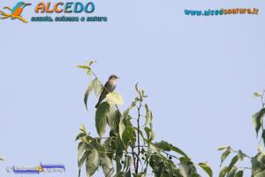 Pigliamosche (Muscicapa striata)