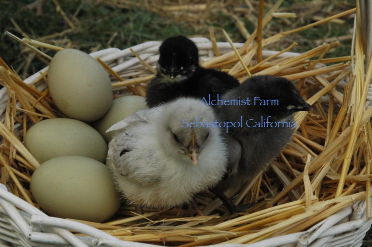 Isbar chicks with eggs