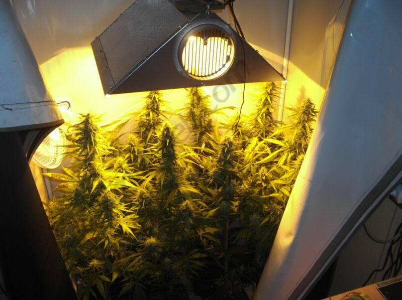 Comment Cultiver Du Cannabis En Espaces Rduits Blog Du
