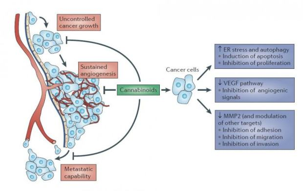 Efficiency of cannabinoids against cancer