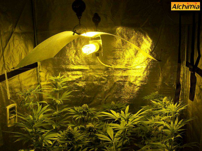 Indoor Marijuana Growing Alchimia Blog