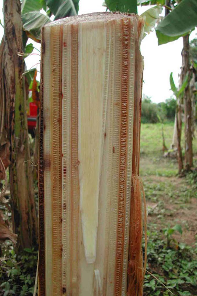 Fusarium wilt discoloured banana vascular bundle