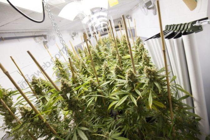 Feminized seeds indoor grow, 100% females plants