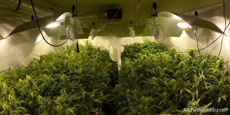 Culture Intrieur Du Cannabis Page 2 De 4 Blog Du