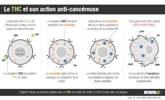 Action du THC sur les cellules tumorales (source = NORML)