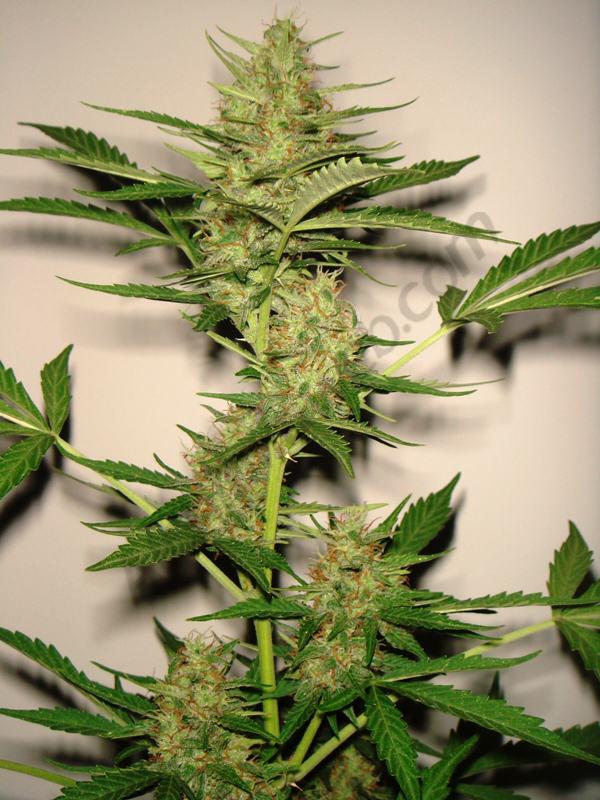 Culture De Cannabis Floraison Automatique Blog Du