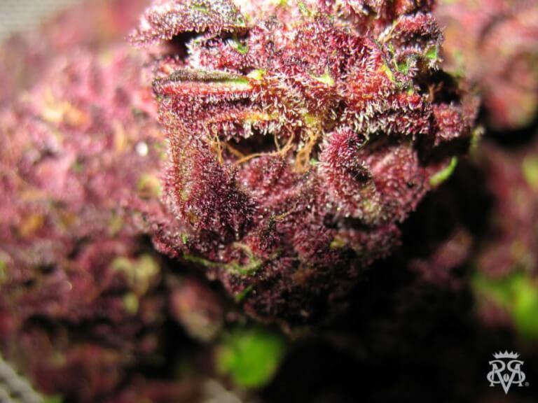 Vente De Graines De Cannabis Rgulires De Bizarre De