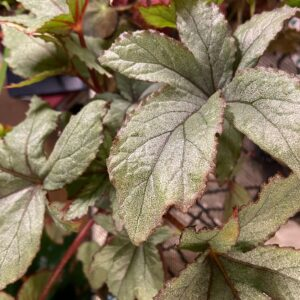Begonia-pollux