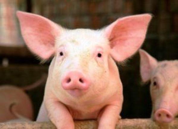 Cerdo delatador