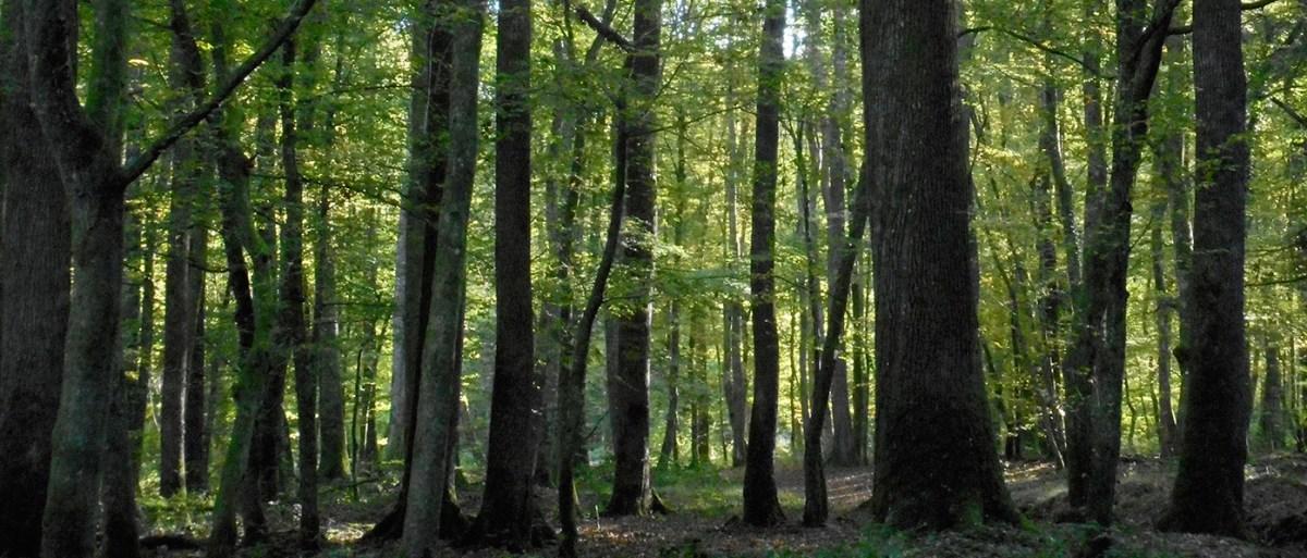 Dans la forêt de Tronçais