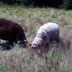 Ovečky na Radhošti