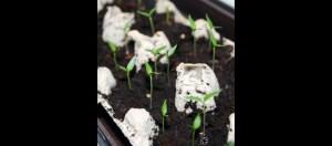 chilli rostliny
