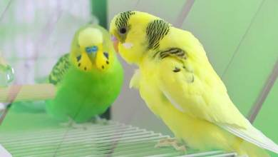 Photo of Why do Budgies scream?