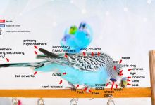 Photo of Budgie Anatomy in detail [Alen AxP]